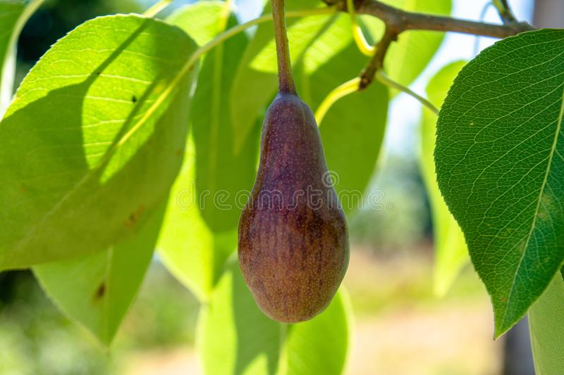 Small verdant green pear growing in the garden stock images