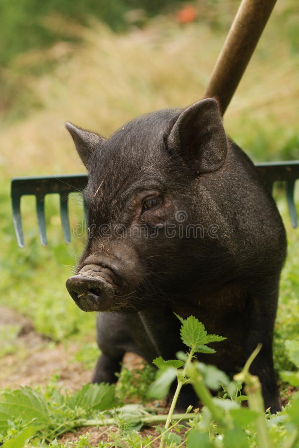 Small Vietnam Pig Stock Images