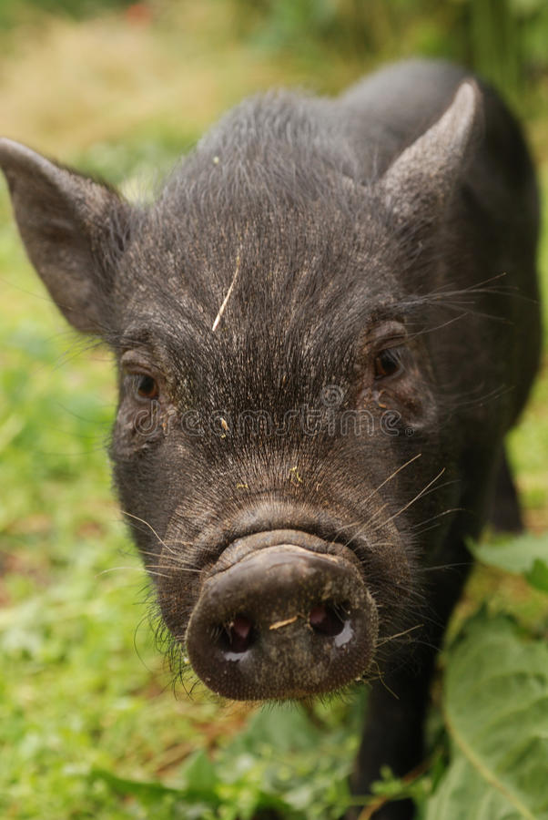 Download Small Vietnam pig 2 stock photo. Image of meat, baby - 11833704
