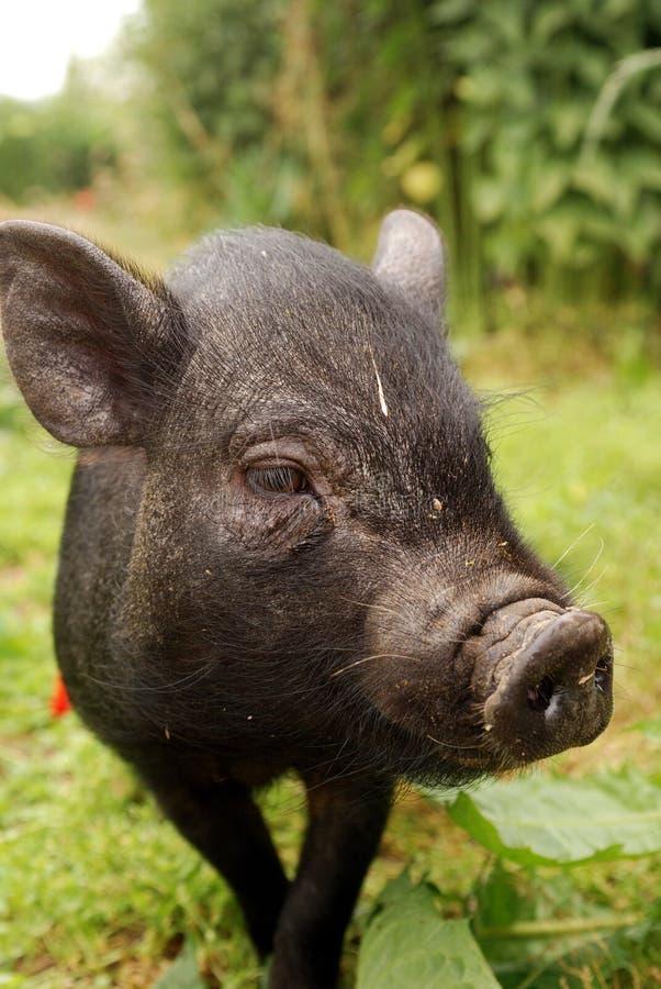 Download Small Vietnam pig 3 stock image. Image of piggy, black - 11833807