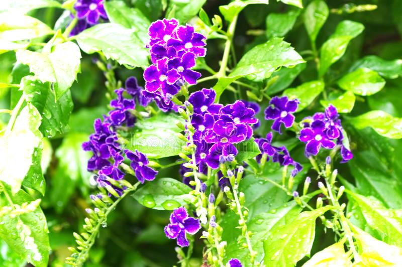 Small violet of  Duranta repens flowers and green leaves has water drop after the rain royalty free stock image