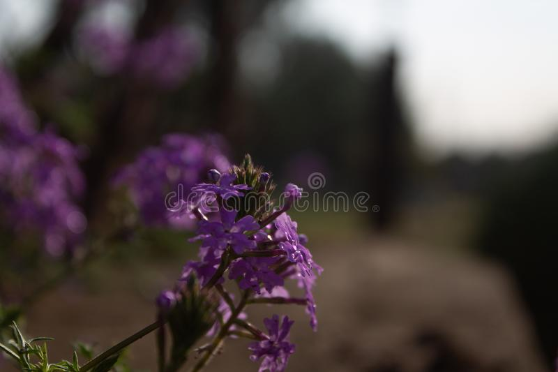 Small violet flowers stock images