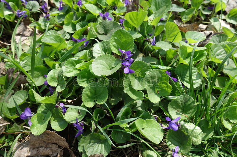Small violet flowers of dog violet in the grass stock photo