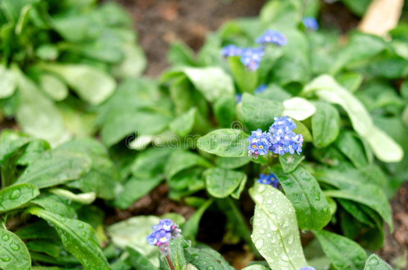Small violet pansy closeup stock photography