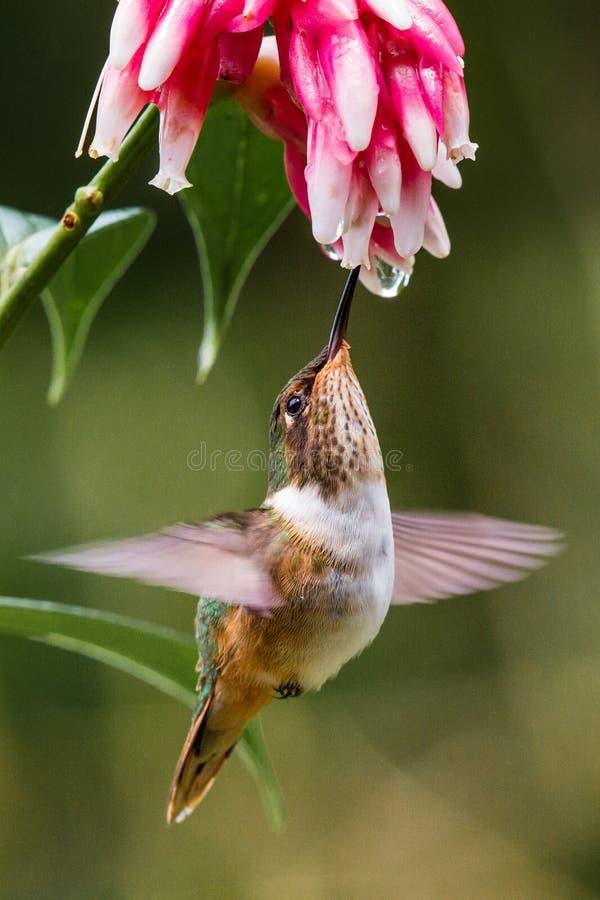 Small Volcano Hummingbird. In Flight Feeding On A Red Flower stock photo