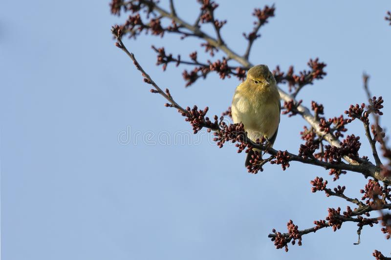 A Small Warbler Bird Phylloscopus collybita rests on a branch stock photography