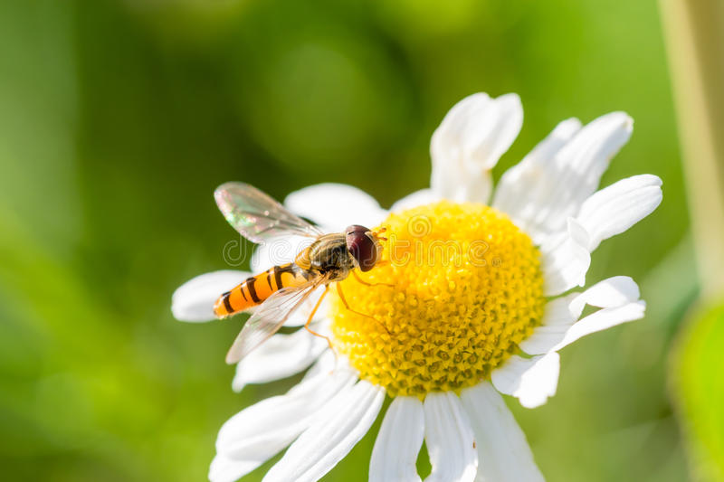 Small wasp just landed on small flower. Small wasp just landed on small white flower with yellow center. Wasp feeding on nectar. Macro photography, nice depth of stock images