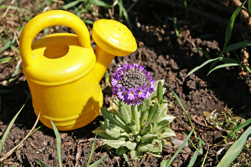 Download Small Watering-can And Small Primrose Stock Image - Image: 9371469