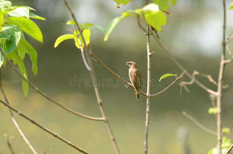 Small wattle bird. On low branch in nature royalty free stock images