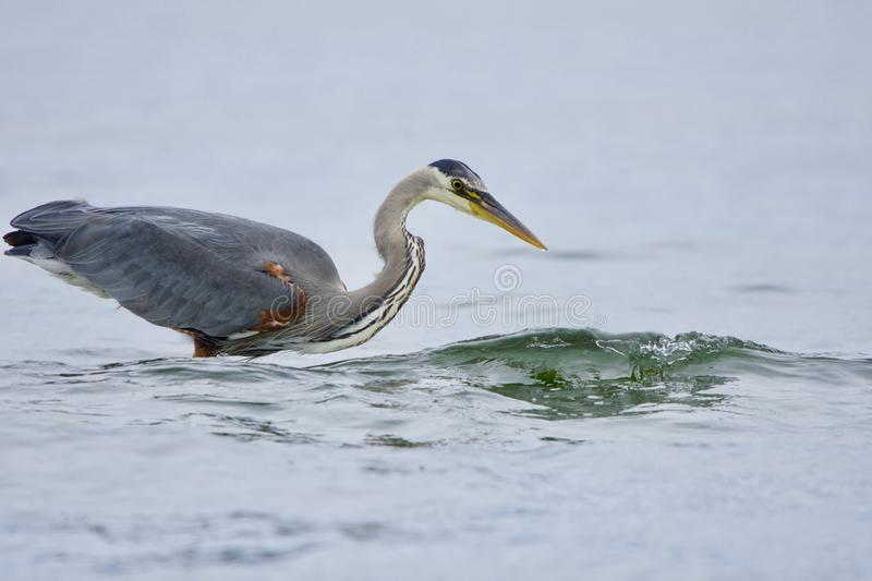 Small wave breaks as it passes a great blue heron fishing near shore. Witty`s Lagoon, Vancouver Island, British Columbia royalty free stock images