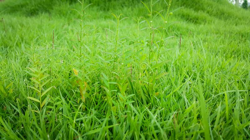 Small weeds growing on the lawn royalty free stock photos