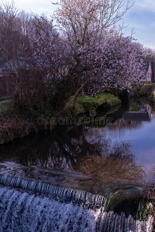A small weir on the River Lim, Lyme Regis with a tree in the background with flowering purple flowers. On a spring day royalty free stock photos