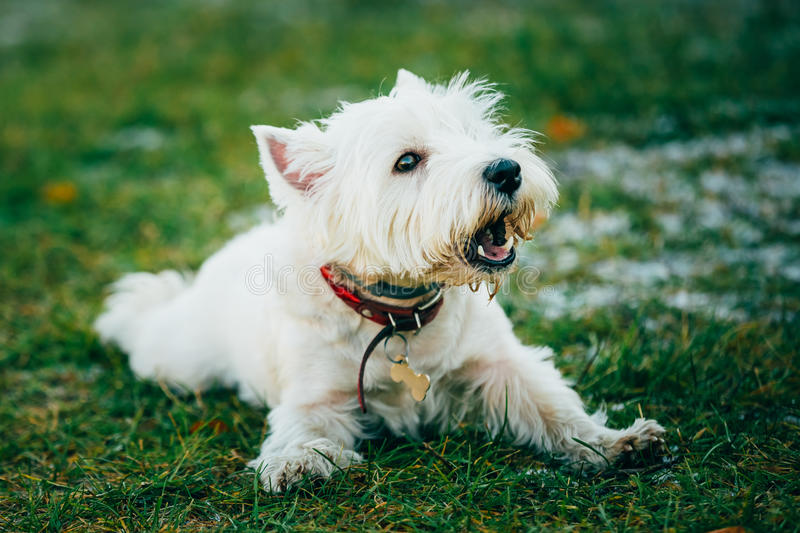 Small West Highland White Terrier - Westie, Westy. West Highland White Terrier - Westie, Westy Barking Outdoor royalty free stock images