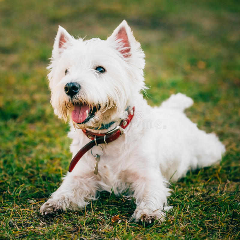 Small West Highland White Terrier - Westie, Westy Dog. Happy Cute West Highland White Terrier - Westie, Westy Dog Play in Grass royalty free stock image