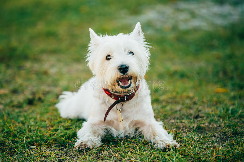Small West Highland White Terrier - Westie, Westy Dog. Sweet West Highland White Terrier - Westie, Westy Dog Play in Grass stock photo