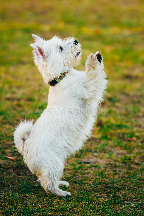 Small West Highland White Terrier - Westie, Westy. Funny West Highland White Terrier - Westie, Westy Dog Dancing On Grass stock images