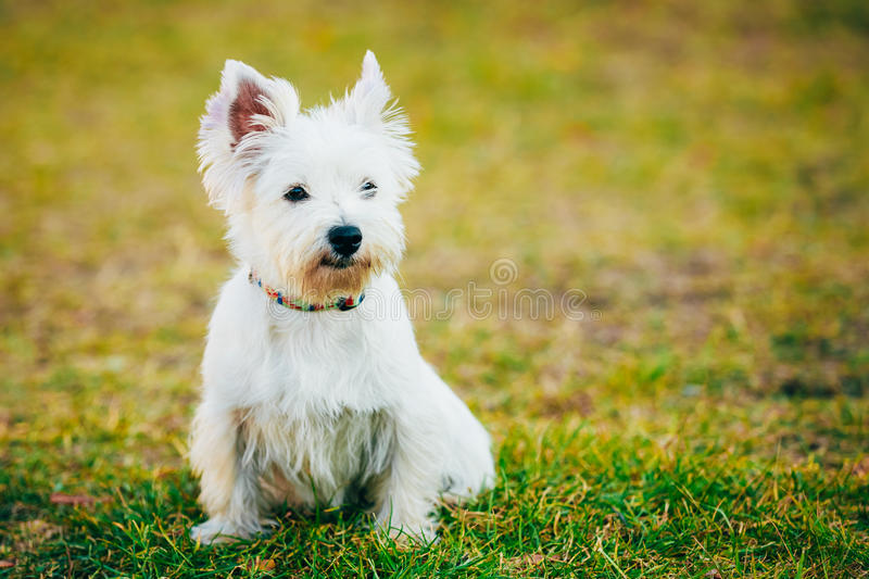 Small West Highland White Terrier - Westie, Westy. Funny West Highland White Terrier - Westie, Westy Dog Portrait royalty free stock image
