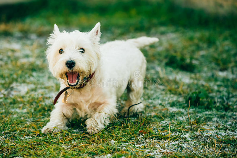 Small West Highland White Terrier - Westie, Westy. Happy Funny West Highland White Terrier - Westie, Westy Dog Play in Grass royalty free stock image