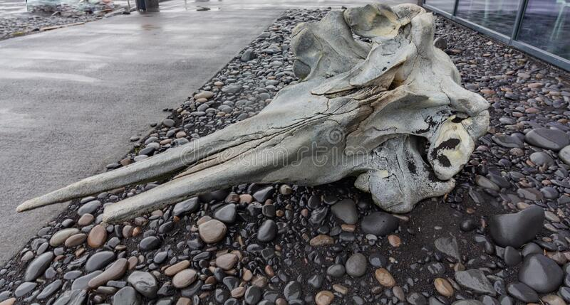A small whales skeleton bone head. Outside of a cafe in Reynisfjara black sand beach and landmark of Vik town in Iceland stock images