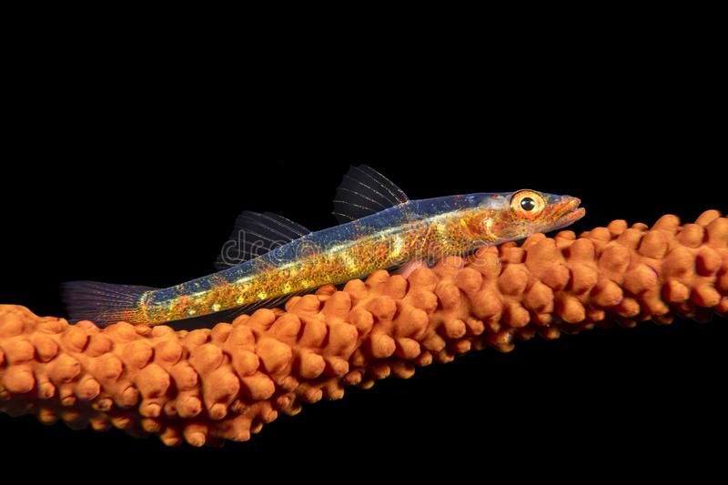 Whip coral goby stock photography