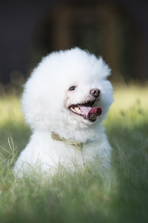 Small white Bichon Frise canine dog panting sitting in grass in urban park stock photography