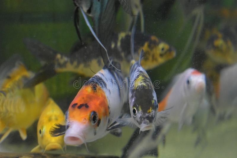 Small white, black and orange colors calf fish. stock image