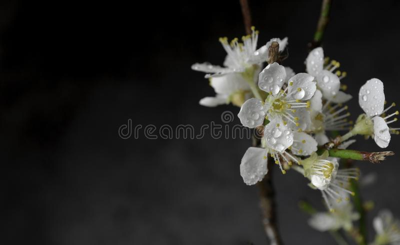 Small white blossoms on a branch with green leaves stock images