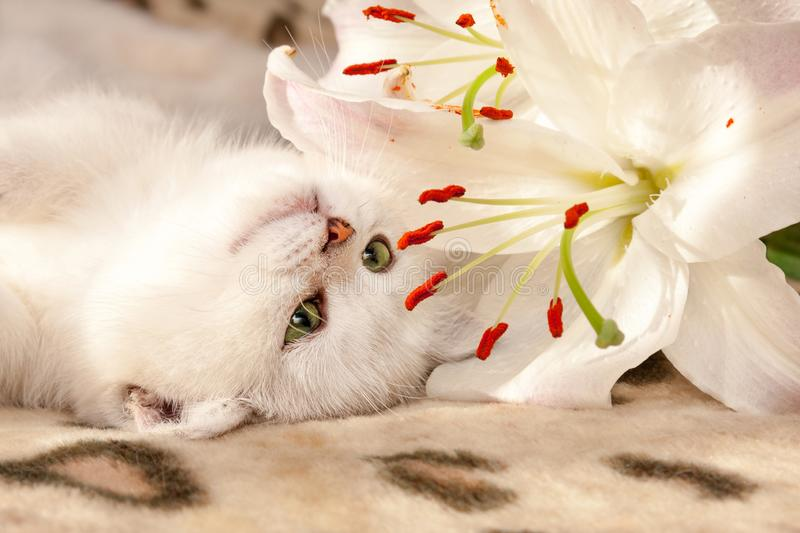 A small white British cat with green eyes lies upside down on the couch and sniffs a Lily flower stock photography