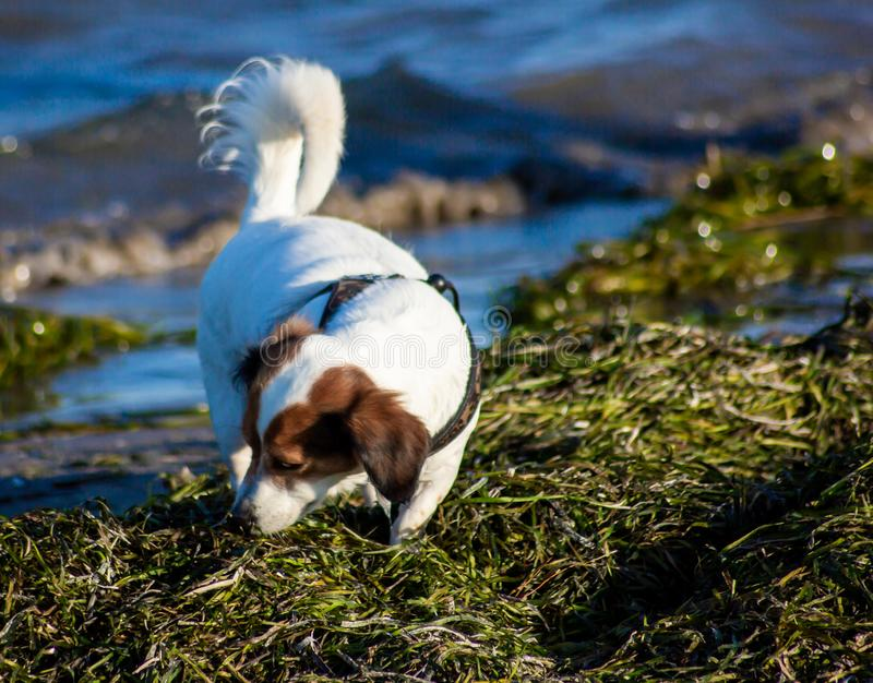 Small white and brown mongrel walking on the beach, smelling the smell of the algae that arrived by the sea.  royalty free stock image
