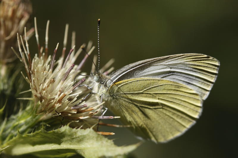 Download Small white butterfly stock image. Image of nature, insect - 15921175