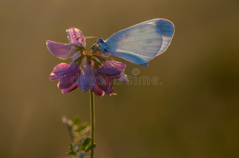 A small white butterfly. Dries its wings early in the morning in a clearing in dew royalty free stock images