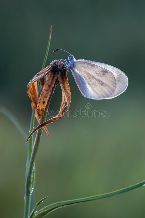 A small white butterfly dries its wings early in the morning. In a clearing in dew stock photos