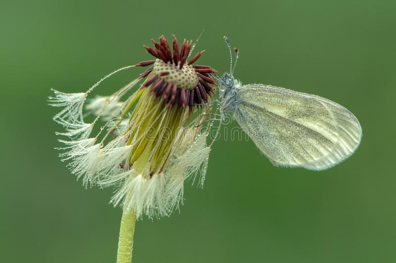 A small white butterfly dries its wings early in the morning in a clearing in dew. On a dandelion flower royalty free stock photography