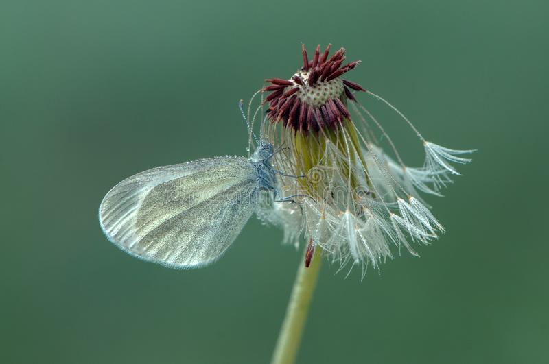 A small  butterfly dries its wings early in the morning in a clearing in dew on a dandelion flower. A small white butterfly dries its wings early in the morning stock photography