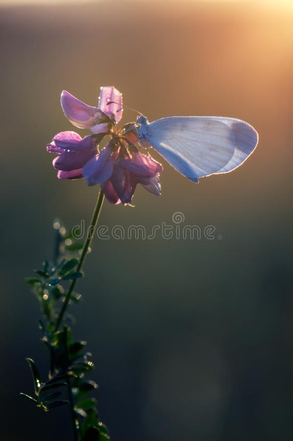 A small white butterfly dries its wings early in the morning. In a clearing in dew royalty free stock photo