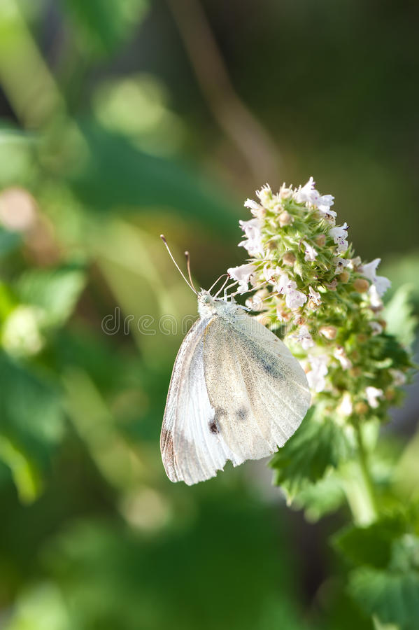 Small white butterfly on green leaf royalty free stock photography