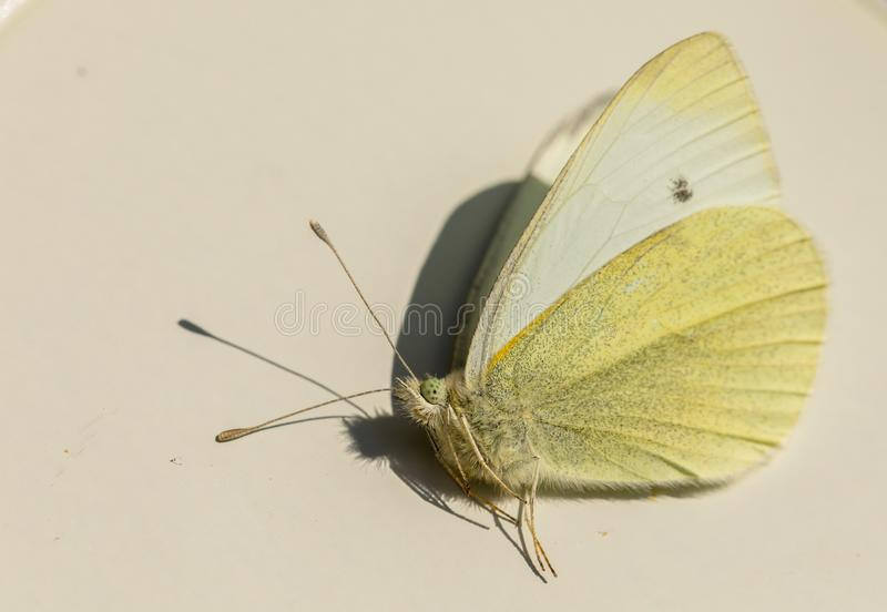 Small White butterfly - Pieris rapae - male insect, view from the side. Small White or Small Cabbage White butterfly - Pieris rapae - view from the side. Male royalty free stock image