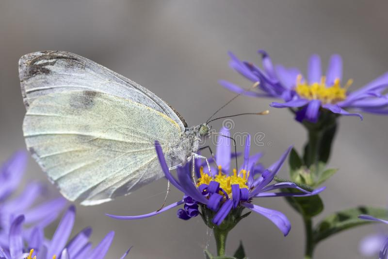Small White Butterfly Pieris rapae op Aster x frikartii royalty-vrije stock foto