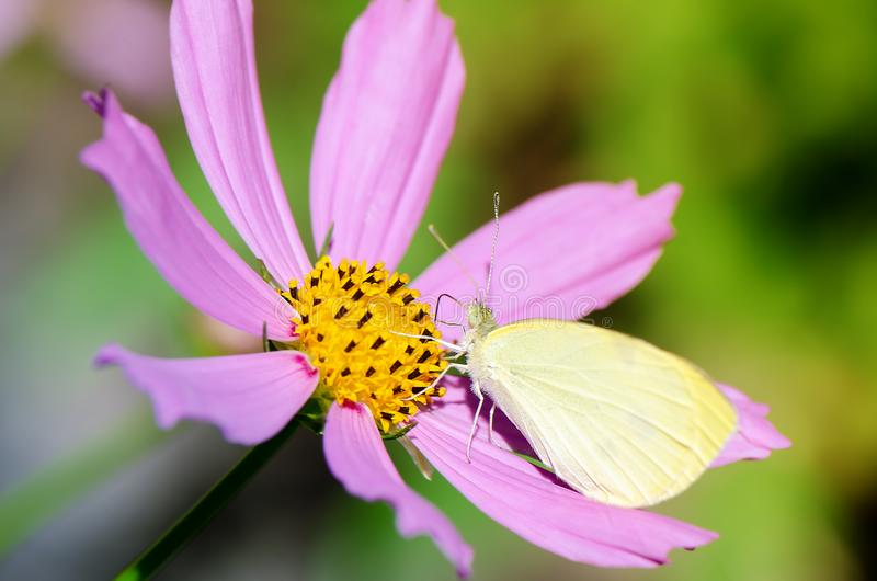 Small white butterfly on pink flower royalty free stock images