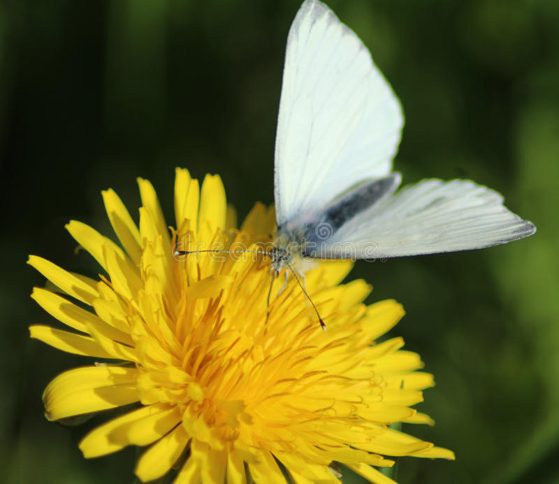 The Small White butterfly royalty free stock images
