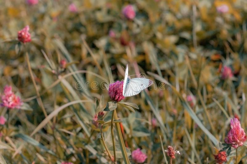 Small white cabbage butterfly on pink clover royalty free stock images
