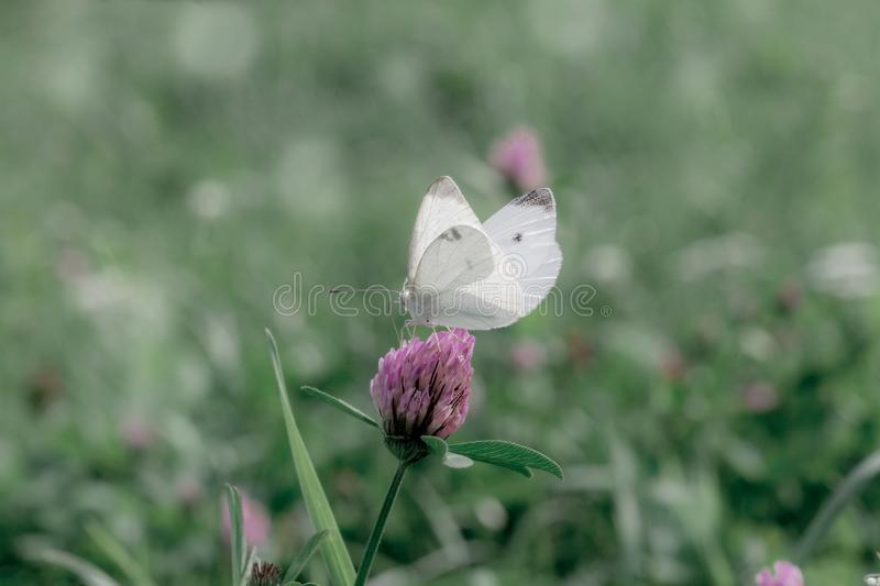 Small white cabbage butterfly on pink clover stock photos