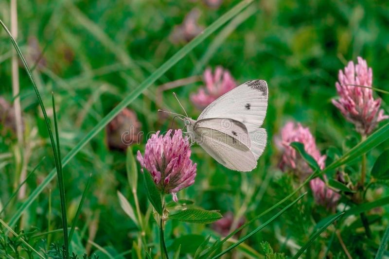 Small white cabbage butterfly on pink clover stock images