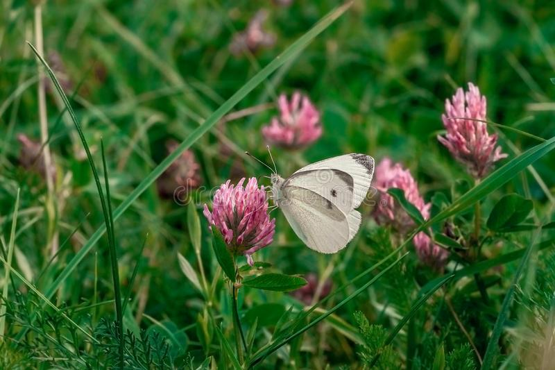 Small white cabbage butterfly on pink clover royalty free stock photo