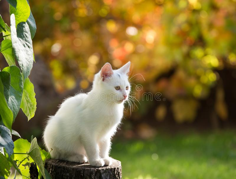 Small white cat in garden. Adorable white cat sitting on stump in garden beside plant and looking in distance. Colorful background with autumn colors stock image