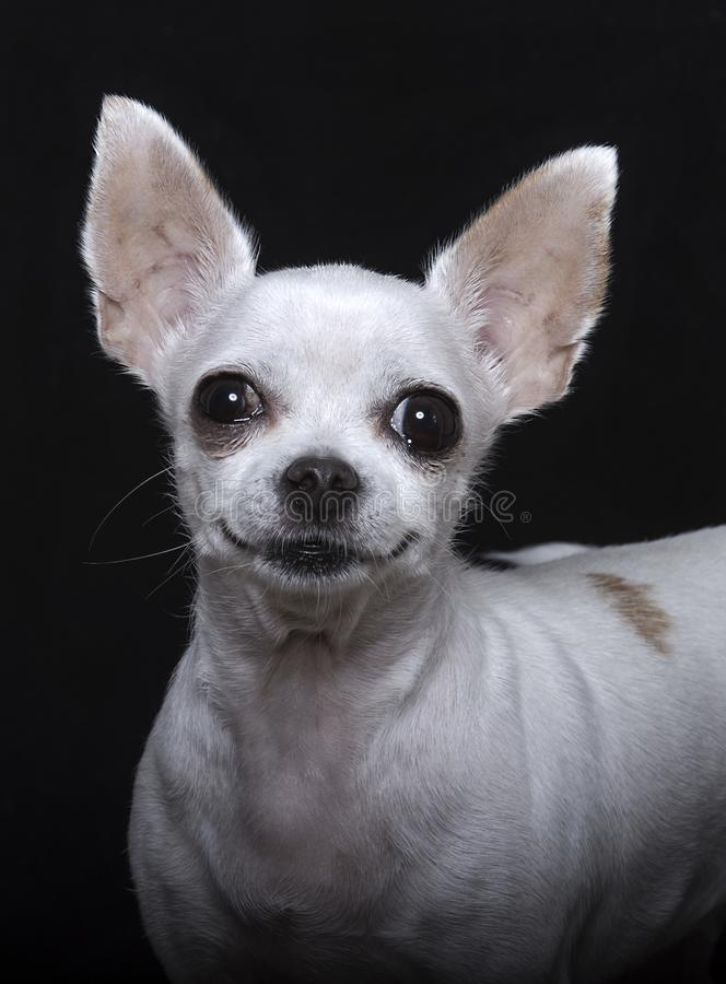 Smile, black nose and big chihuahua ears royalty free stock photography