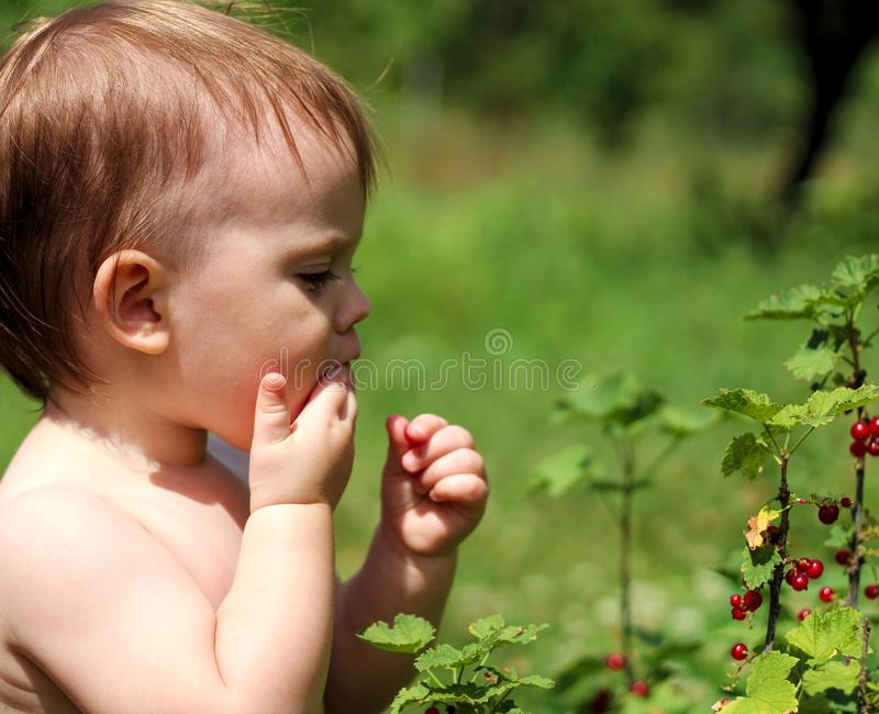 a small white child stands near a bush of red currant and eats berries stock photos
