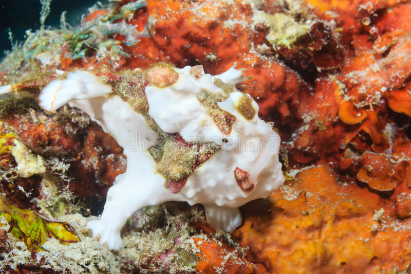 Small white Clown Frogfish. Small Clown Frogfish hiding on a coral reef stock photo