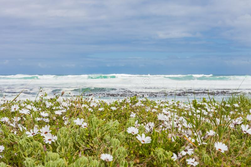 Small white coastal flowers on the Atlantic Sea shore stock image