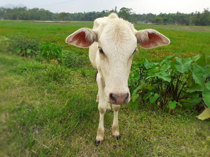 A small white cow standing on meadow and looking straight to camera. stock image